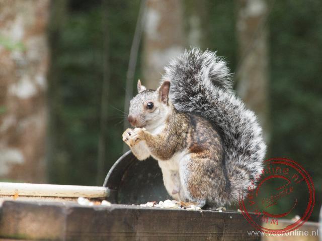 Een eekhoorn bij de ruïnes van Copán