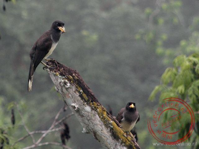 Vogels bij het ochtendgloren in de Maya stad Tikal