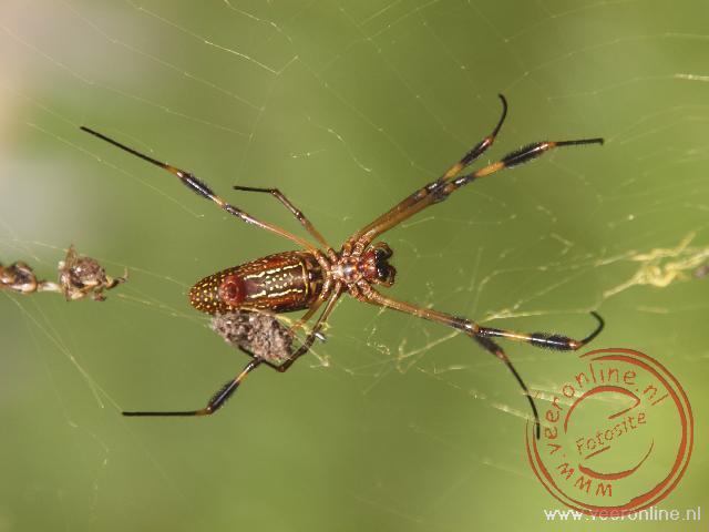 Een grote spin heeft zijn web in Tikal