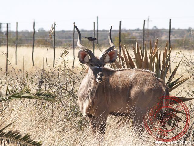 Een Kudu op de grens met Botswana