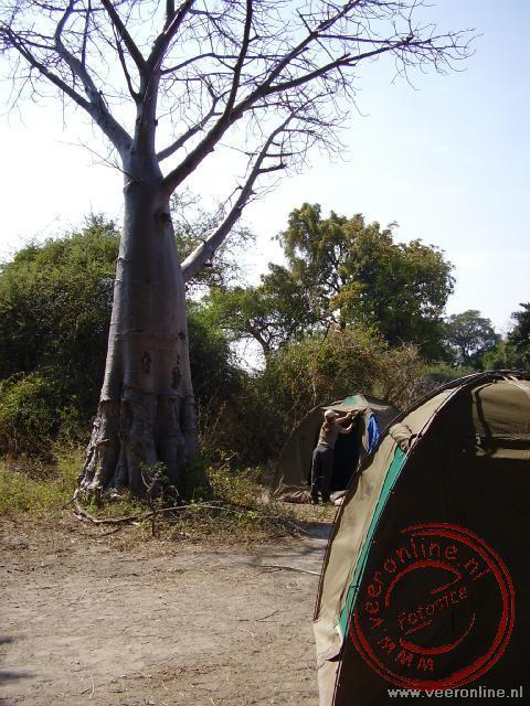Wild kamperen onder de Baobabboom op een eiland in de Okavango Delta