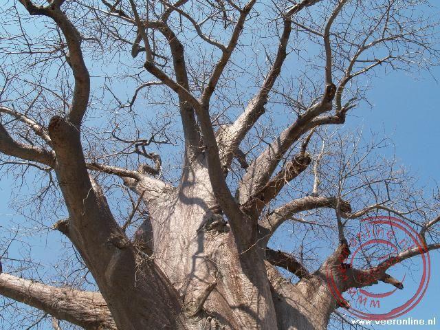 De oude takken van de Baobab boom