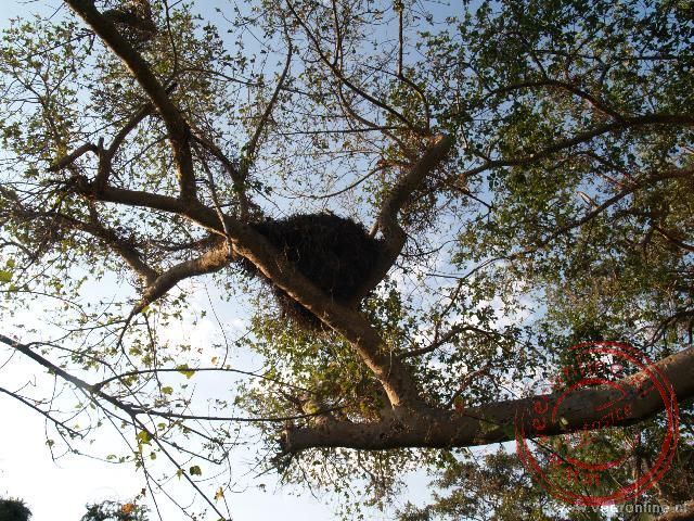 Het grote nest van de Hamerkop vogel