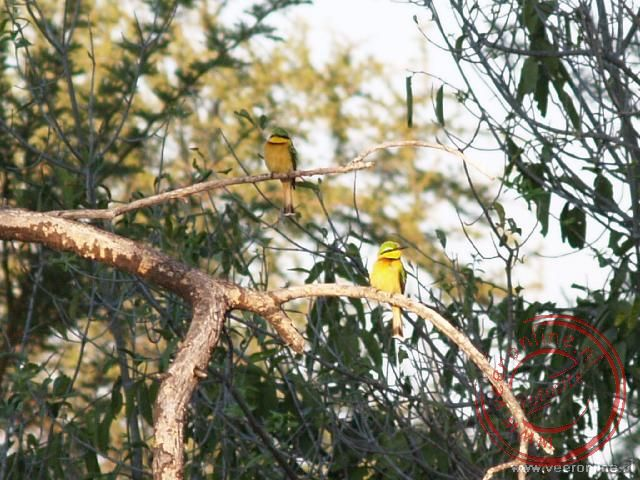 Twee little Bee eaters in de boom