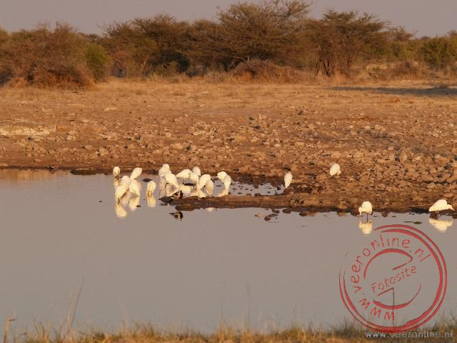De witte reigers in de vroege ochtend bij de waterhole