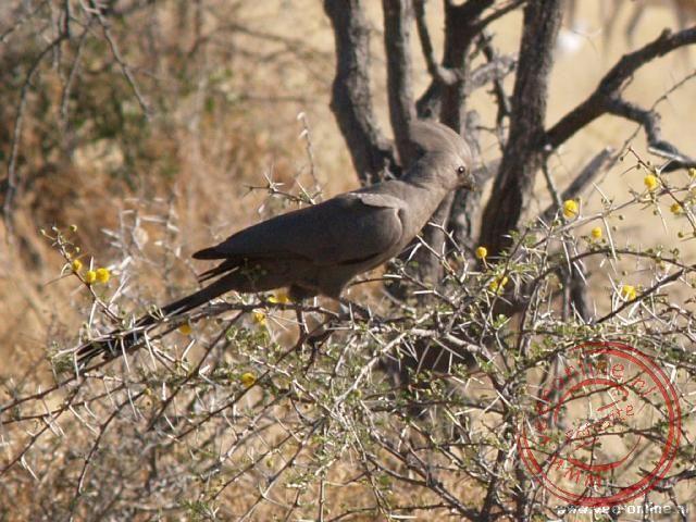 """Een grey Go-Away Bird dankt zijn naam aan de klanken """"Go Away""""."""