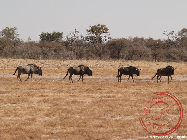 Enkele Gnoes of Wildebeest in Etosha