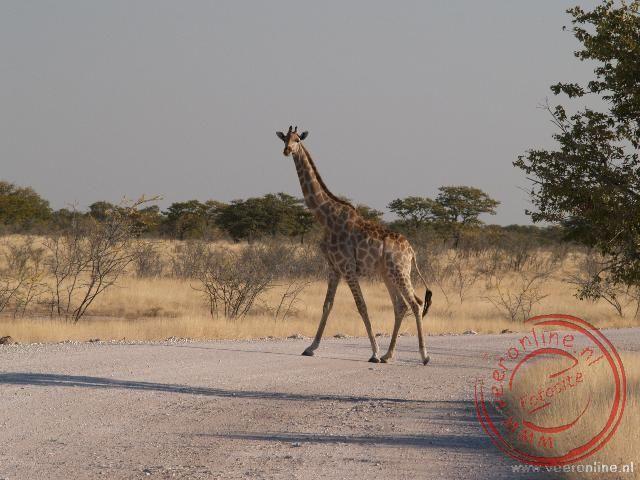 Een giraffe steekt de weg over