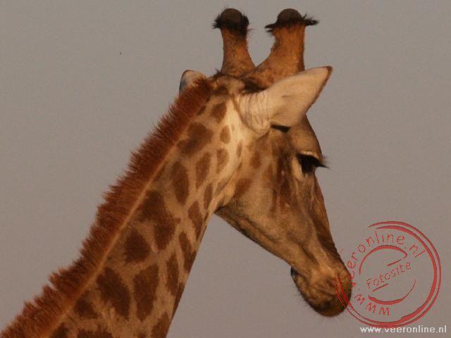 Een giraffe in Etosha N.P.