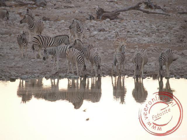 Een kudde zebras bij de waterplaats