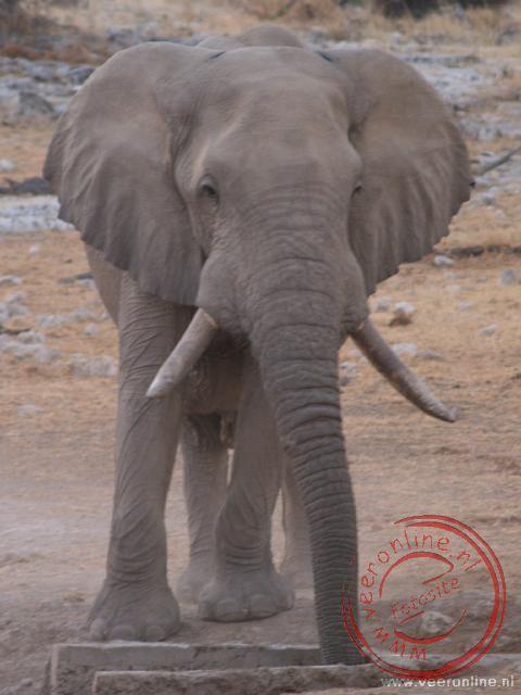 Een olifant bij de waterplaats in Okaukuejo