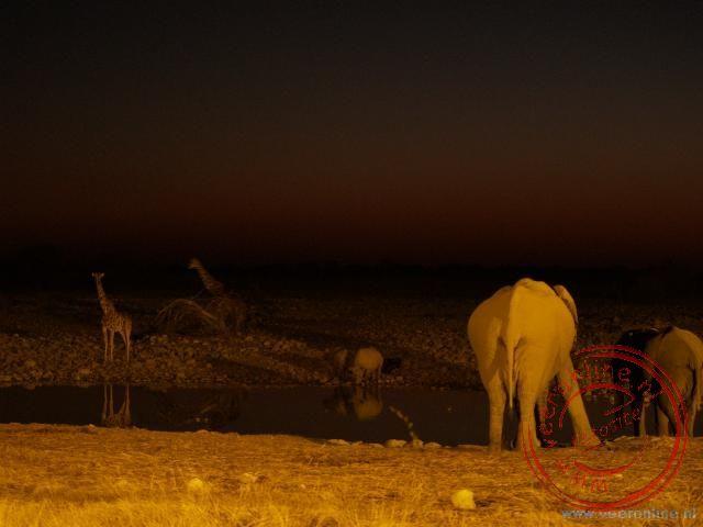 Olifanten, neushoorns en giraffen bij de waterplaats Okaukuejo