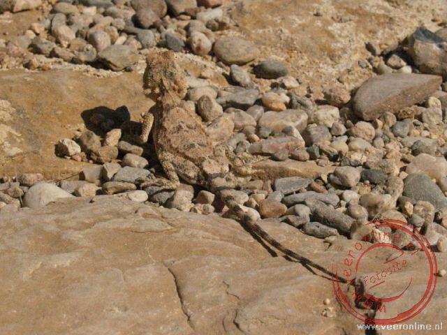 Een hagedis in zijn schutkleur op de stenen