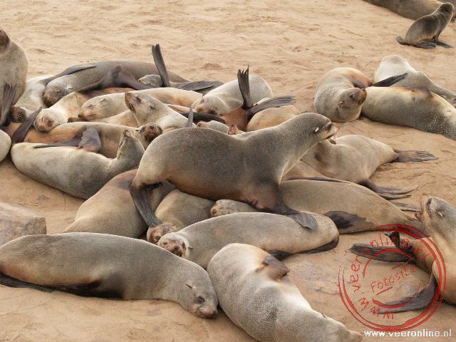 De zeehondenkolonie op Cape Cross