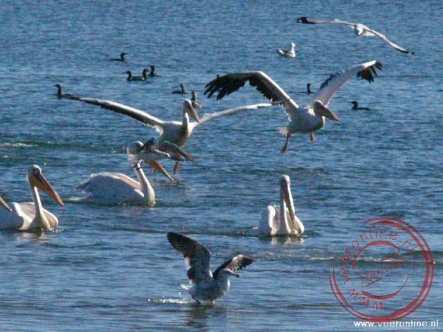 Pelikanen in Walvisbaai