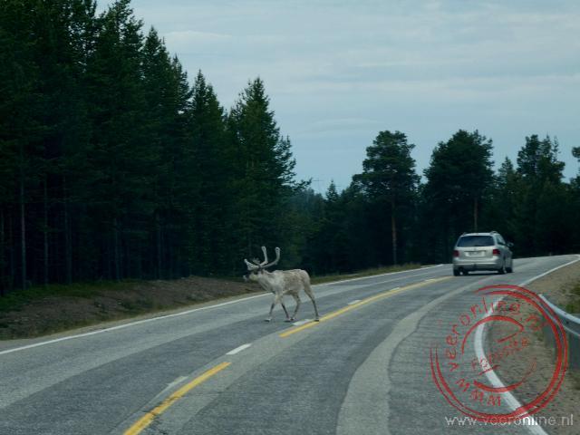 Een eland steekt de weg over ten noorden van de poolcirkel