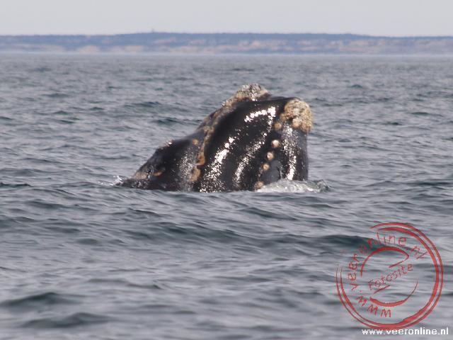 Een Southern Right Whale walvis in de baai van Peninsula Valdéz