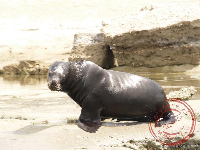Een zeeleeuw wordt gestoord tijdens zijn rust