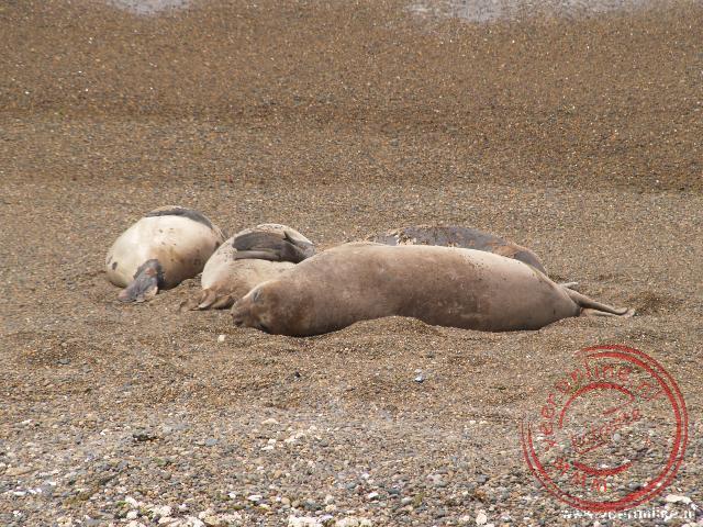 Zeeolifanten liggen op het stand van Peninsula Valdéz