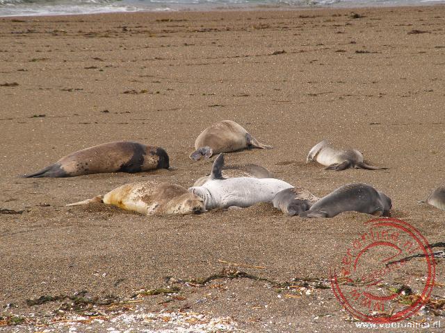 Zeeolifanten liggen op het strand van Peninsula Valdéz
