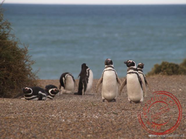 Pinguins op in het natuurgebied Peninsula Valdes