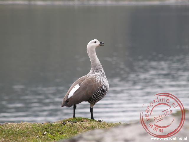 Een mannetjes Magellan Goose op Vuurland