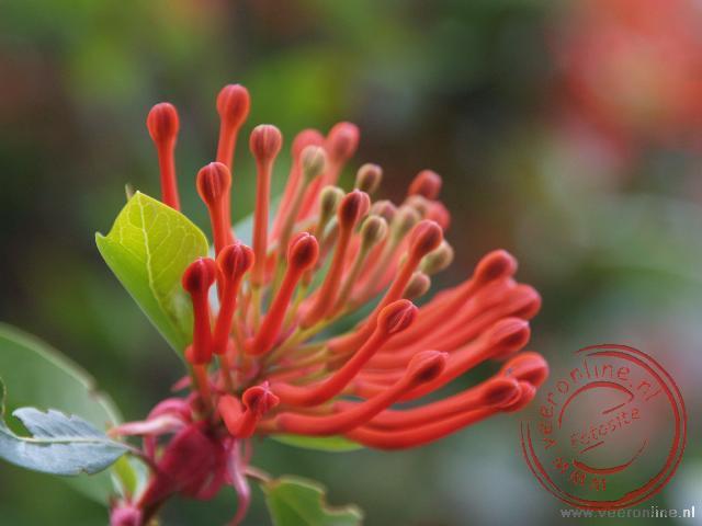 Een close up van de Firebush bloem