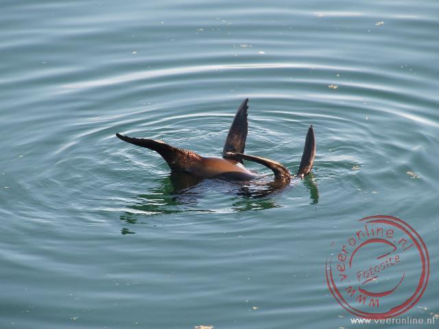 Een spelende zeeleeuw in het water