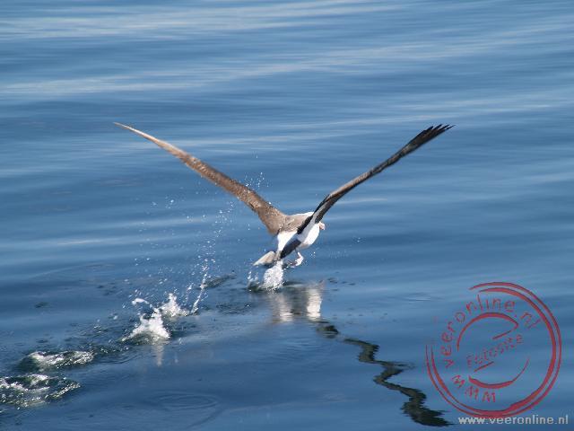 Een albatros neemt het zekere voor het onzekere en stijgt op