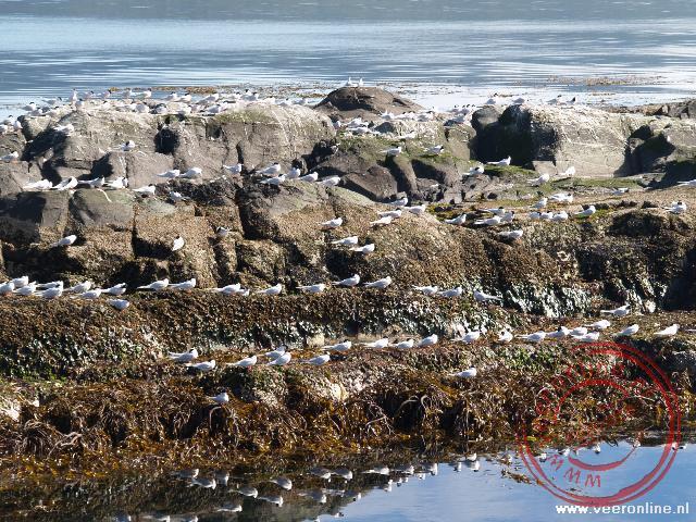 Een trope Sterns op een eiland in het Beagle kanaal