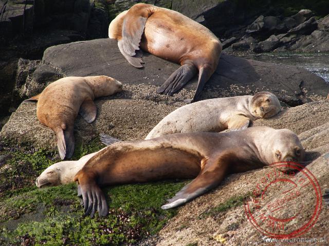 Zeeleeuwen rusten op een eilandje