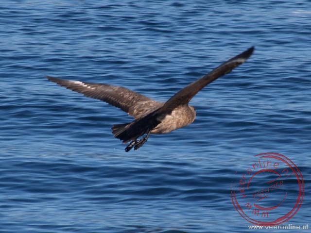 Een Chilean Skua vliegt laag over het water