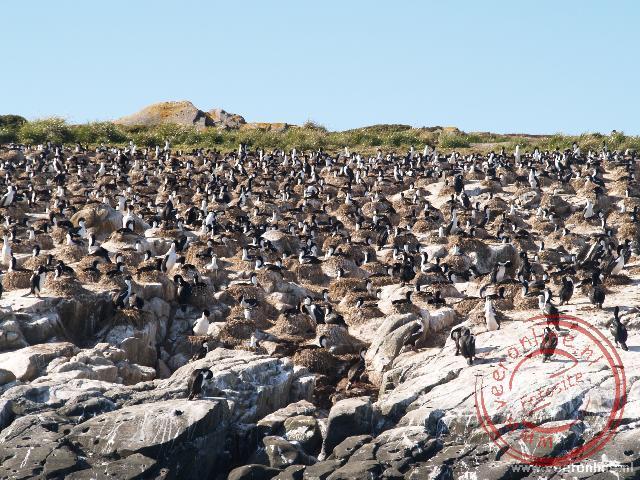 Een grote groep Aalscholvers bij elkaar