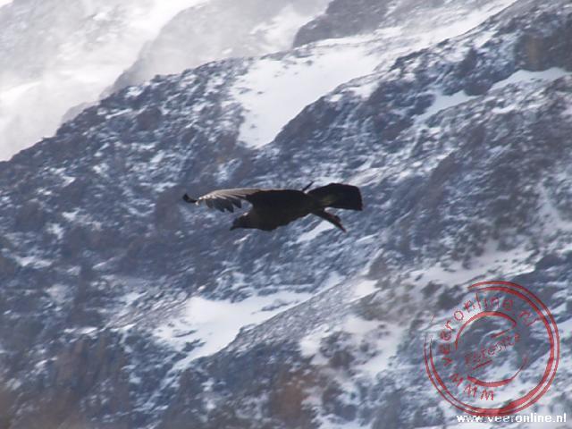 Een condor vliegt over