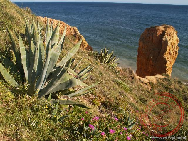 Een cactus op de rotsenkust