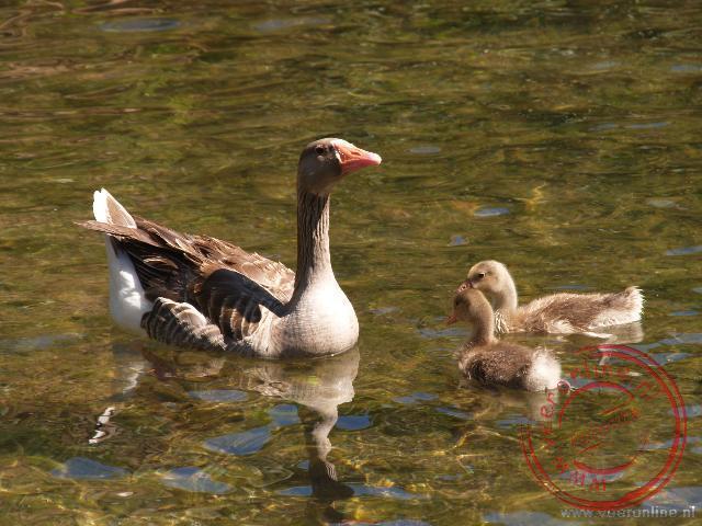 Een moeder gans met jongen