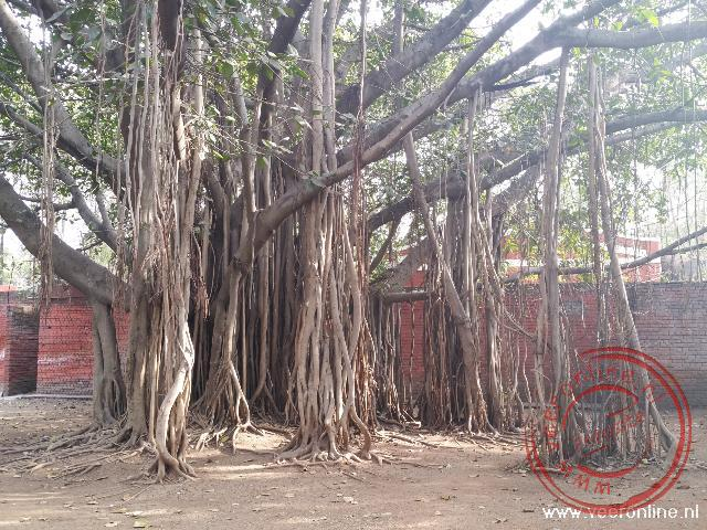 Een bijzondere boom met luchtwortels bij het Aga Khan paleis