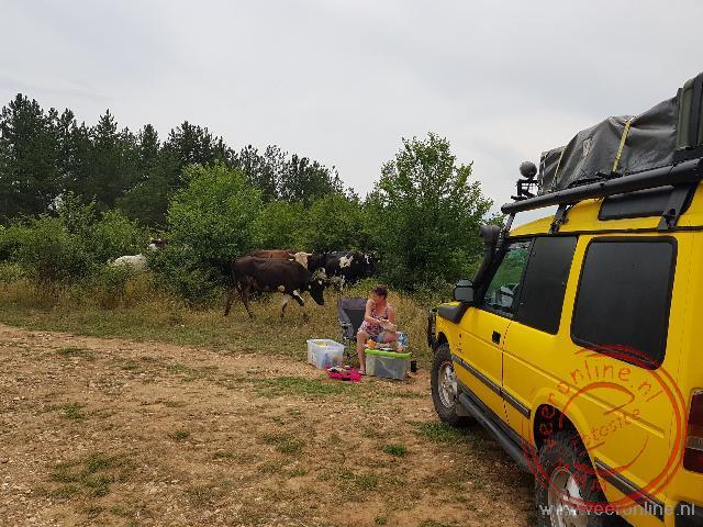 Een kudde koeien trekt belangstellend voorbij tijdens een pauze