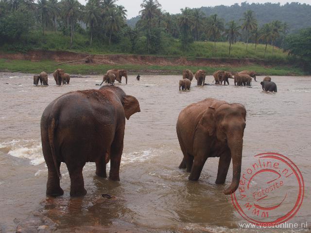 De olifanten opvang van Pinnawela