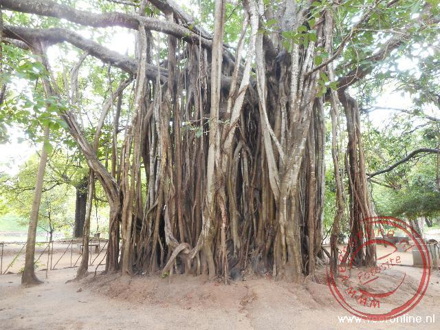 Een enorme mangrove boom waarbij de luchtwortels de grond raken