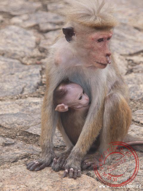 Een jong aapje zoekt bescherming bij zijn moeder
