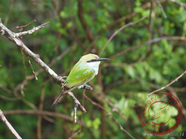 Een green bee eater in Yala N.P.