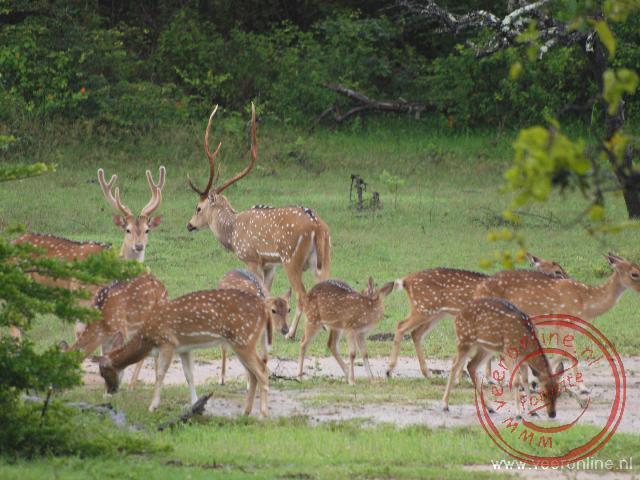 Een kudde Elk s in Yala NP