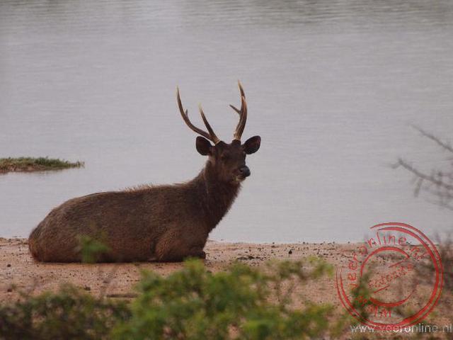 Een Samba deer (elk) rust uit bij het water