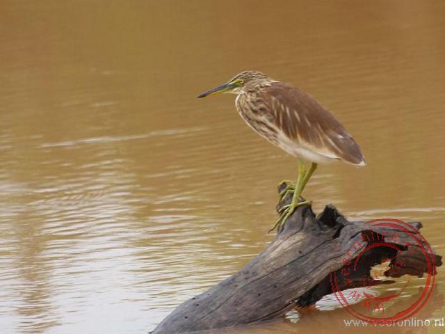 Een heron reiger met zijn opvallende groene poten