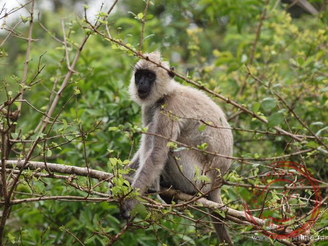 Een Grijze Langoer aap in Yala N.P.