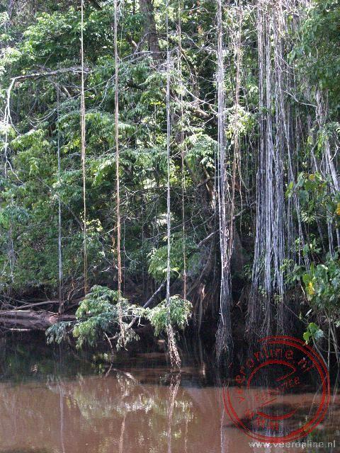 De lianen hangen boven het water