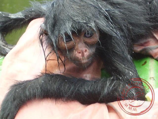 Het aapje Herre is wees omdat zijn moeder geschoten is door de bosbewoners