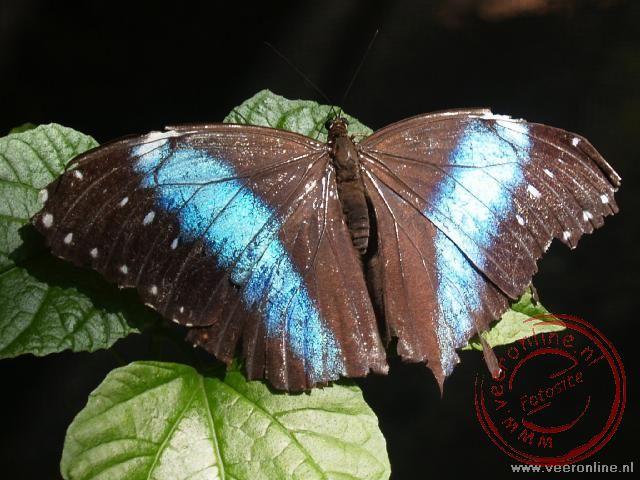 De Morfo vlinder in de vlindertuin