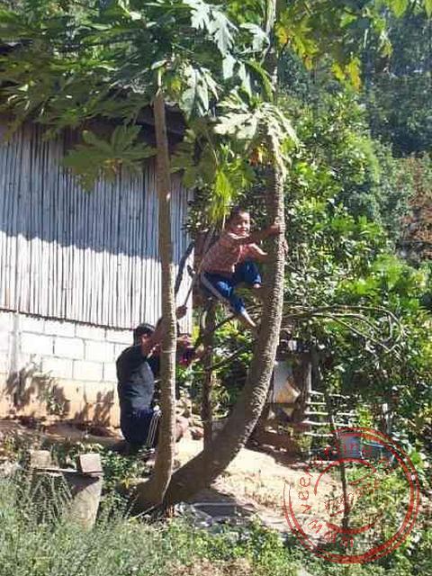 Het plukken van de kokosnoten